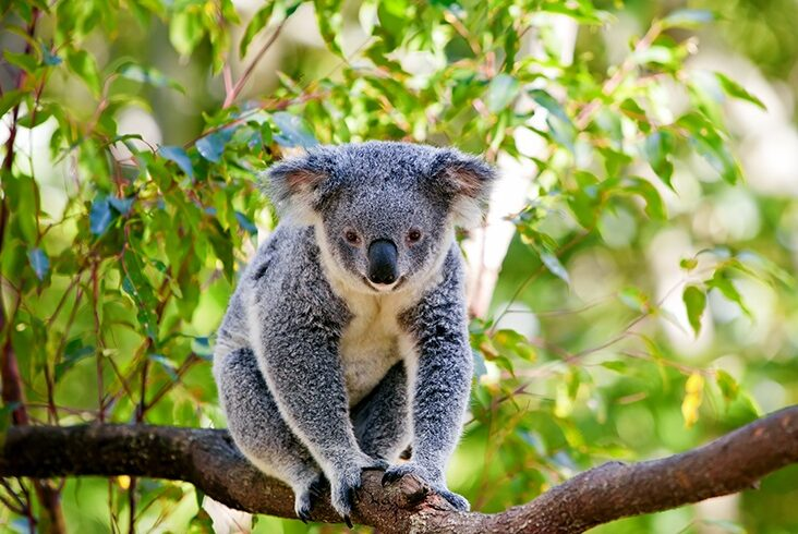 Koalas: permanent residents of the vinery